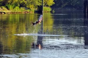 Jumping Sturgeon, Suwannee River