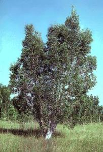 Evil, Invasive, Australian Melaleuca Tree